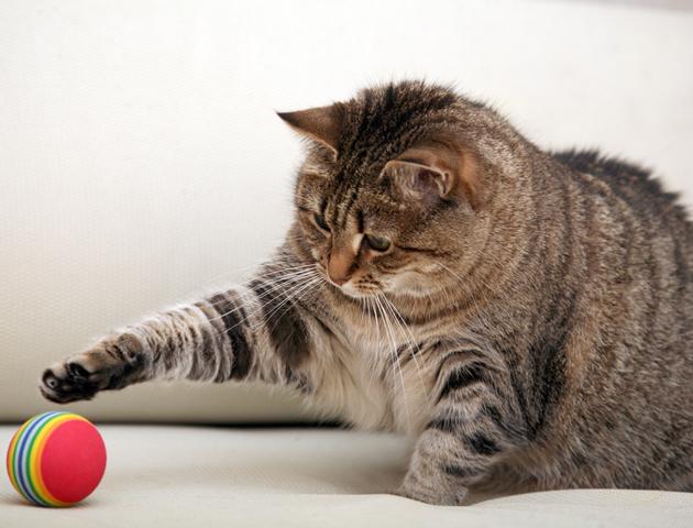 猫の肥満は高リスク!肥満が与える悪影響とその予防方法