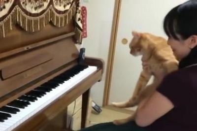 かまってアピールでピアノの演奏を妨害する猫