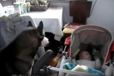 犬の遠吠えは、赤ちゃんの子守歌
