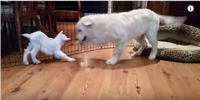 生後4ヶ月の犬が生後4日のヤギに大興奮