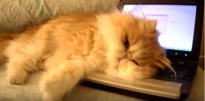 モフモフ猫がパソコンを占拠