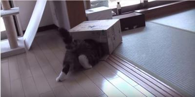 段ボールの箱に入りたくて悪戦苦闘する猫