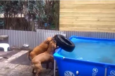 息ピッタリ!プールの底からタイヤを取り出す犬
