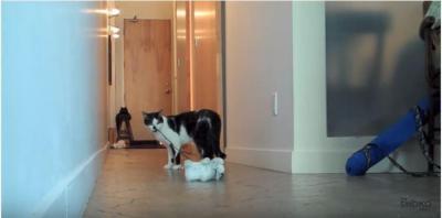 おもちゃの猫を散歩させる猫