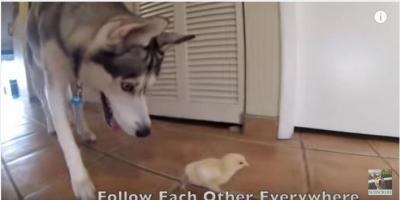 いつも一緒、ひよこが大好き過ぎるハスキー犬
