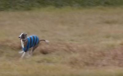 時速約60km!足がとっても速い犬