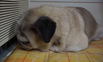 お昼寝中におやつの気配で起きるパグ犬
