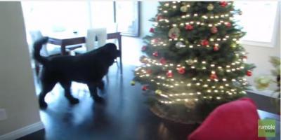 超大型犬ニューファンドランドとかくれんぼ