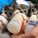 milkcat_R