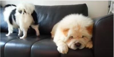 回る狆(チン)と眠たいチャウチャウ犬