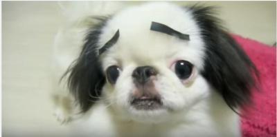 眉毛が似合いすぎる日本犬の狆
