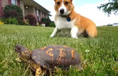 わっ!動いた!?亀に怯えるコーギー