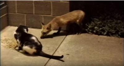 猫vsキツネ、ご飯を巡る闘い