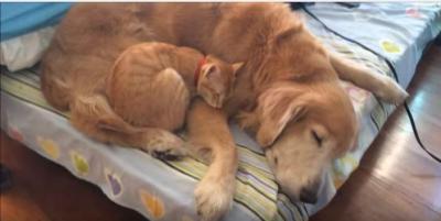 子猫とゴールデンレトリバー、何年経っても一緒