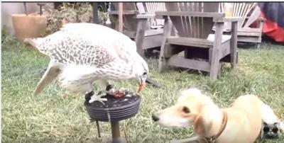 ハヤブサのご飯を分け与えて貰う犬