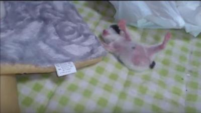 ピンクのお腹が可愛い、コロコロ転げ落ちる子猫
