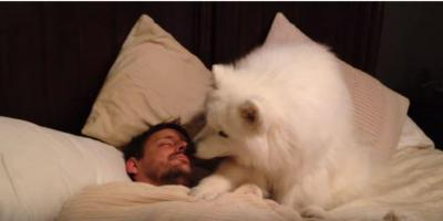 モフモフなサモエド「ご主人様早く起きて!」