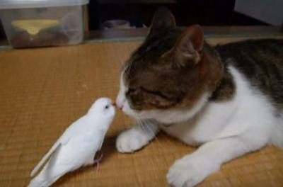 大好きすぎて鳴き声が・・!仲良し猫とインコ