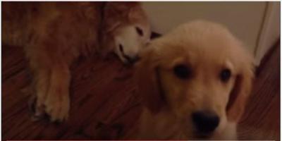 睡眠中のゴールデンレトリバーに子犬ビックリ
