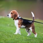ワンちゃんを暑さから守る! 夏に行う犬の散歩のポイントは?