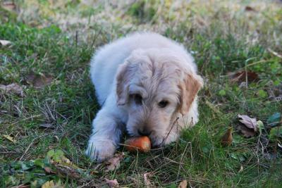 犬が大好きな野菜、どうやってあげればいい?