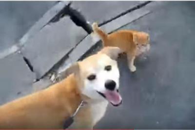 犬小屋に住み着く猫親子、散歩も犬と一緒