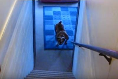 ブルドッグ、階段の上り下りは苦手だワン!