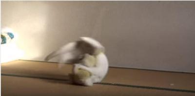 迫力満点!白猫がぬいぐるみ相手に柔道の練習