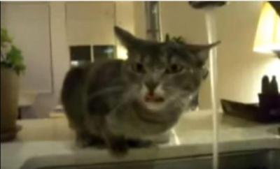 まるでヨーダ?蛇口から水を飲む猫