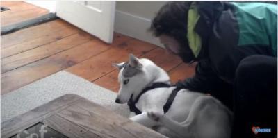可愛いハスキー犬「ノー!」の一点張りで拒否