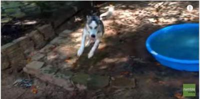 ベビープールで大はしゃぎのハスキー犬