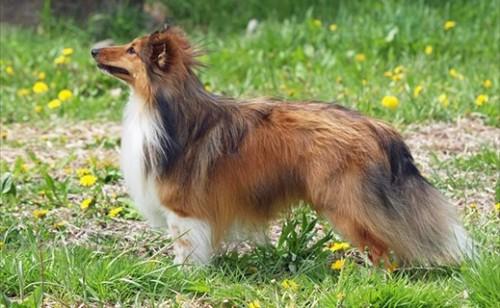 shetland-sheepdog-0