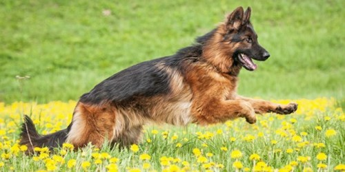 german-shepherd-dog-0