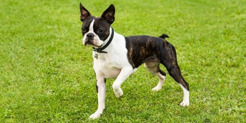 boston-terrier-0