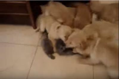 モテ猫!6匹の子犬に揉みくちゃにされる