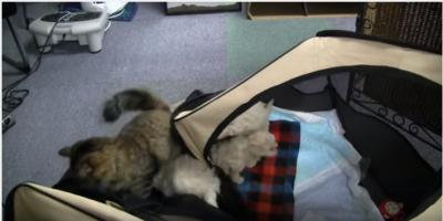 子犬たちの脱走劇、その主導者は猫?