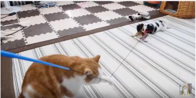 マンチカンとミックス犬の猫じゃらし対決