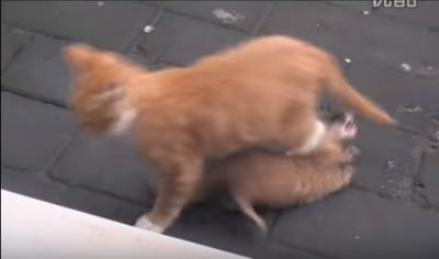 イタチに好かれちゃって困る猫