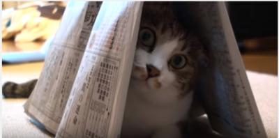新聞紙のトンネルのお家に入る猫、その後は?