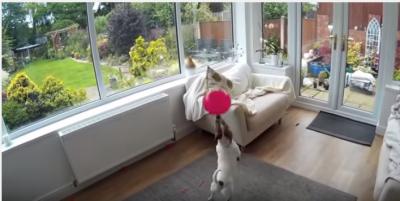 ドリブラー犬、風船を追いかける