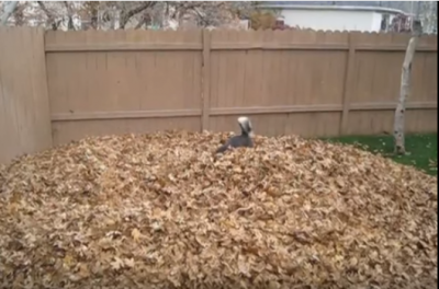 わーい!わーい!枯れ葉の山に大喜びの犬