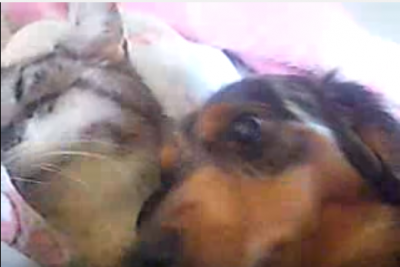 【感動】老猫のお世話をするミニチュアダックス