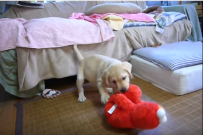 くすぐりエルモvsラブラドールの子犬