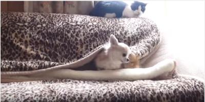 ソファでかくれんぼ?チワワ寝床を作る