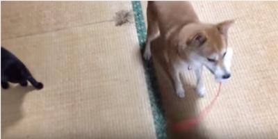 恐がりな猫を守る、勇敢で優しい柴犬