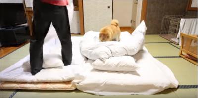 【犬のあるある】柴犬との早送り布団敷き