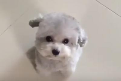 まるでぬいぐるみ!モコモコかわいい小型犬