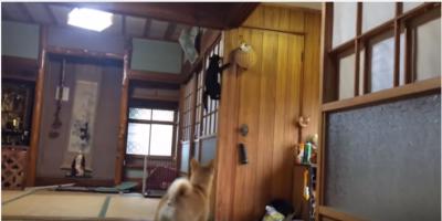 ご機嫌な黒猫とソワソワする柴犬