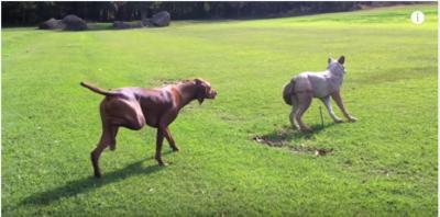 オオカミに忍者のごとく近づく犬にどんでん返し
