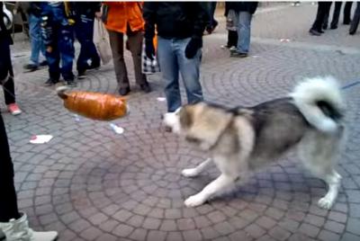 アラスカンマラミュートの子犬vs猫の風船